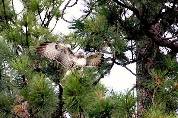 web_cropped_Hawk_in_tree_wings_up_jb_IMG_4374