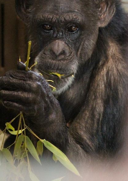 web_Jody_forage_eat_bamboo_sit_floor_FRs_kh_IMG_0784