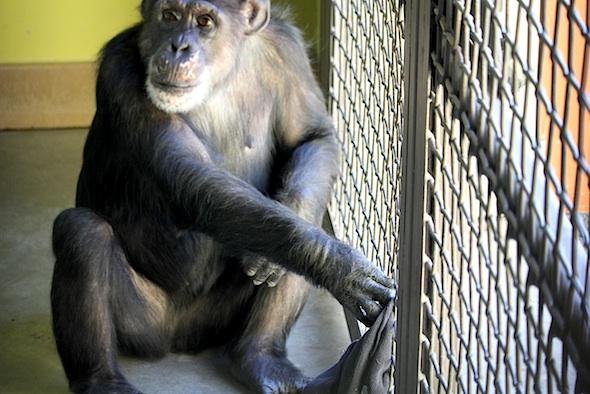 Missy pushing towel through caging