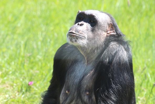 Negra looking at visitors 2