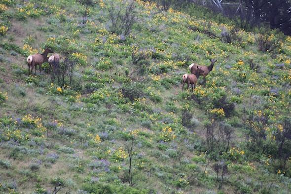 web_elk_herd_on_south_hill_dm_IMG_2489