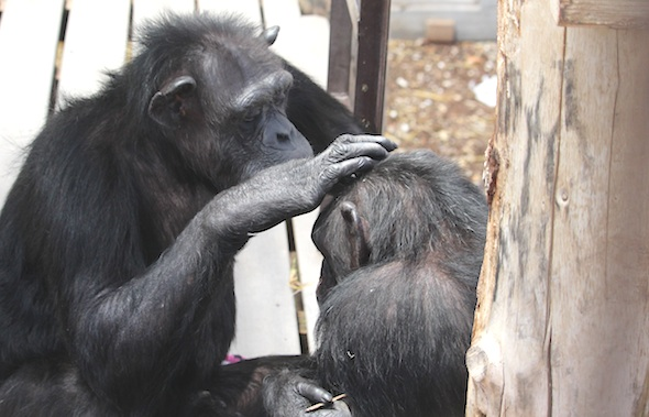 Annie grooming Missy's head