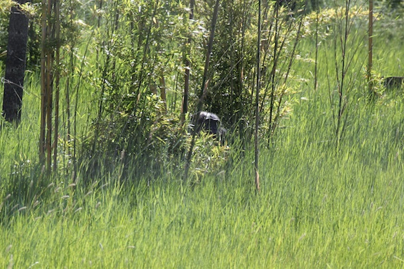 web_Negra_top_head_exposed_tall_grass_bamboo_forage_plants_YH_kh_IMG_2116