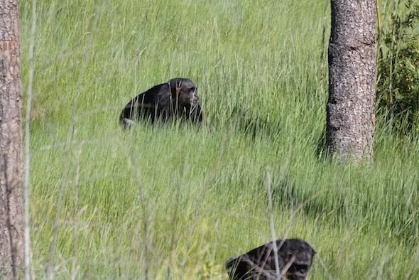 Negra walking in the tall grass