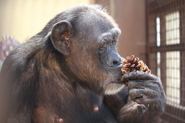 web_Jody_sniff_pine_cone_evening_enrichment_GH_IMG_4384