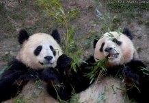 panda released