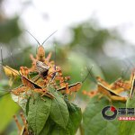 Locust invasion in China
