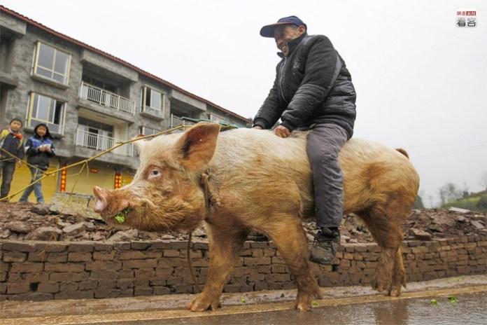 Chongqing, Uncle Chiang riding a pig for fun