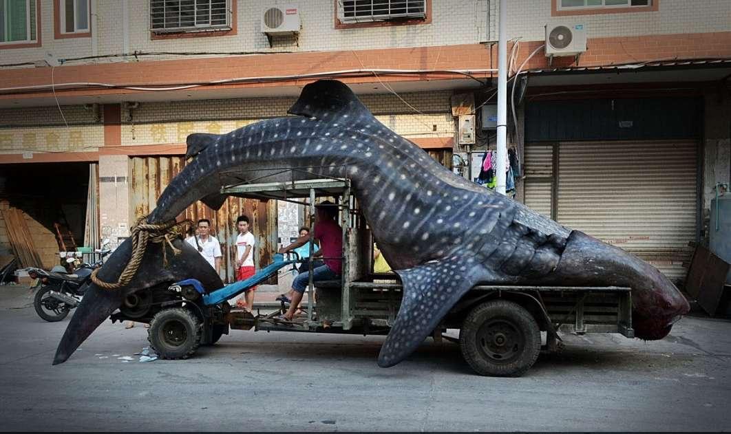 Whale Shark Fishing in China
