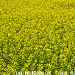 Amazing Rapeseeds Fields of Luoping, China