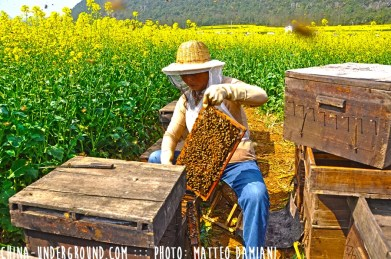Bees Amazing Rapeseeds Fields of Luoping, China