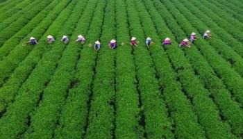 People pick tea leaves at a tea plantation in Changsha, Hunan province, China