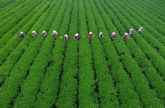People pick tea leaves at a tea plantation in Changsha, Hunan province, China