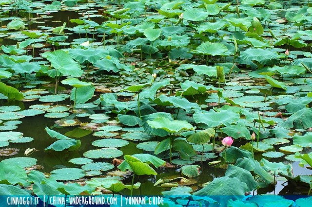 lotus pond in China