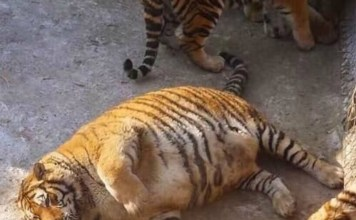 obese tigers