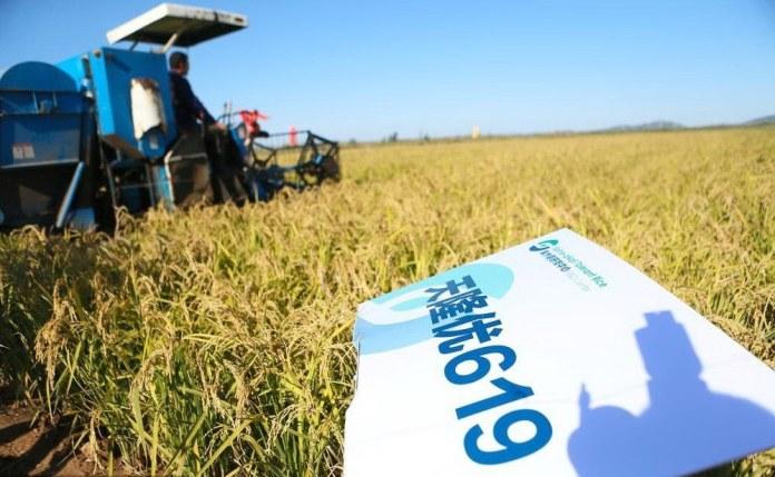 China's new rice