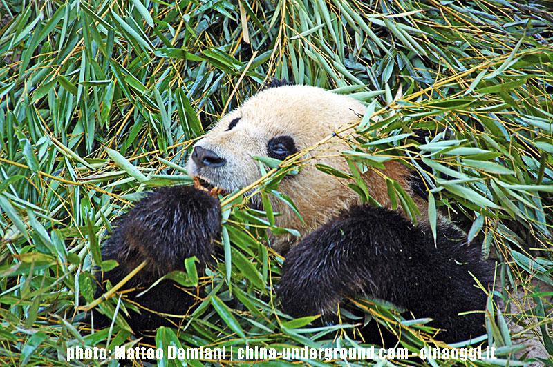 pandas in captivity