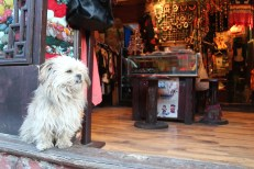 A dog in a Chinese shop
