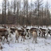 Visit China's Last Reindeer Tribe