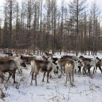 Visit China's Last Reindeer Tribe