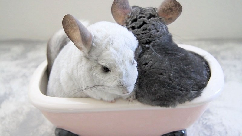 Image result for Chinchilla and dust baths