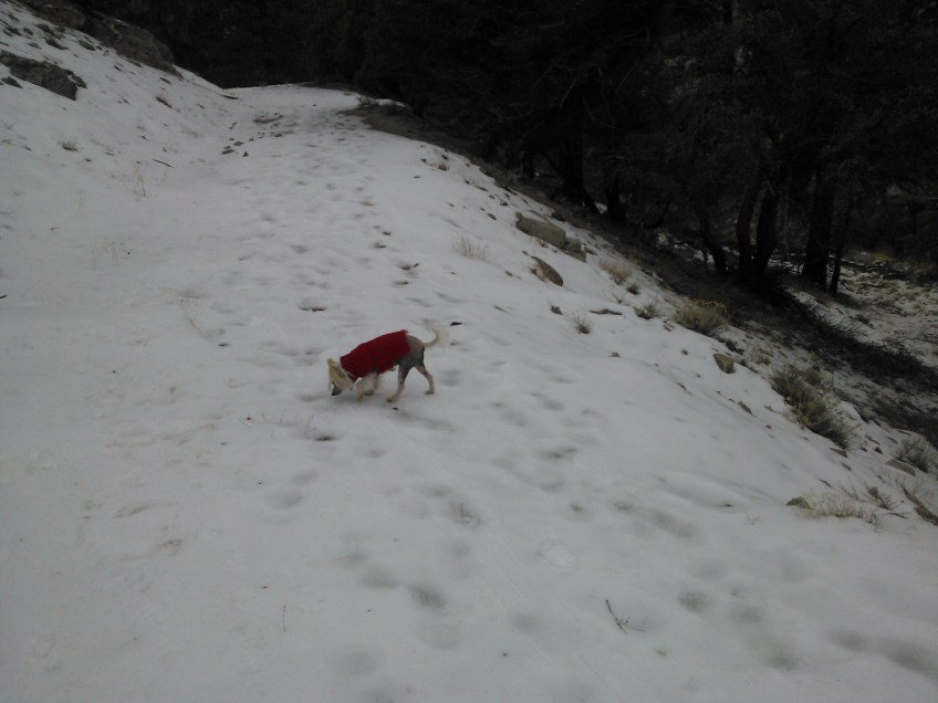 chinese crested Ozy on Snow image
