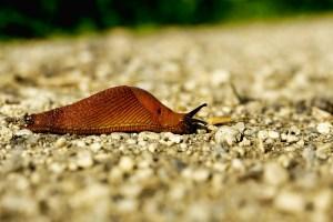 Lumaca (limaccia): a differenza della chiocciola è senza guscio