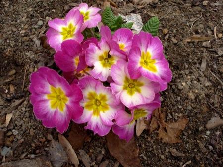 primroses-in-spring