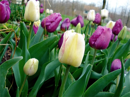 mixed-spring-tulips