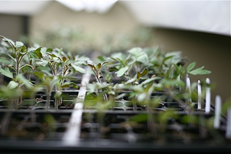 tomato-seedlings
