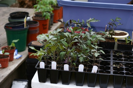 tomato-seedlings-ready-for-repotting