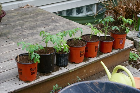 potted-tomato-plants1