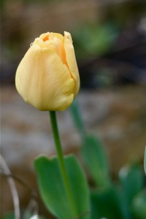 pale-yellow-tulip