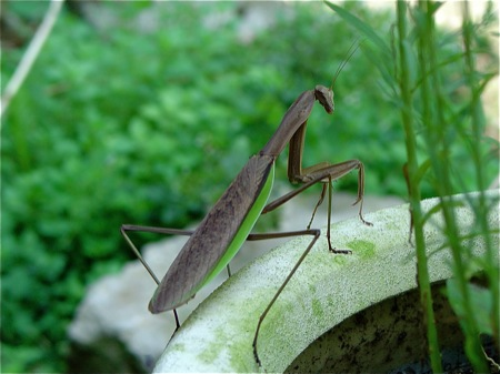 praying-mantis-web