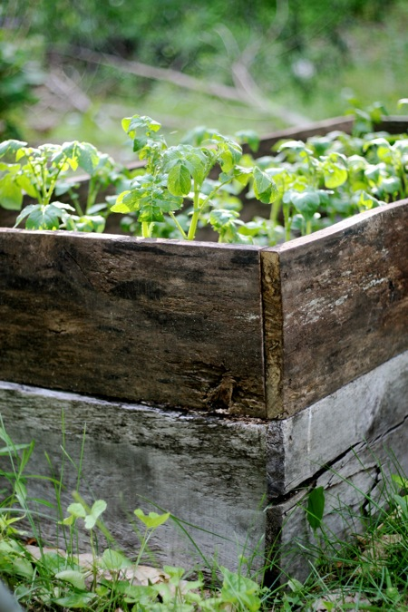 potatoes-in-tall-raised-bed