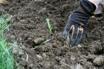 planting corn seedlings 1