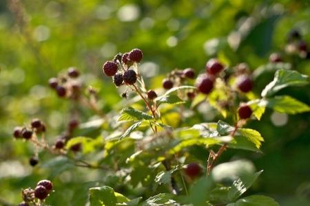 Wild_Black_Raspberries