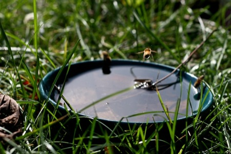 Bees_drinking_out_of_Bowl