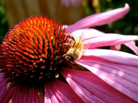 Honeybee_on_echinacea