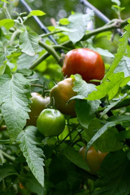 Ripening_tomato