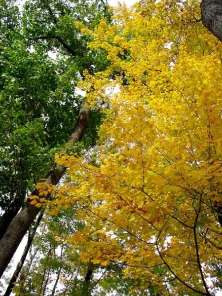 Yellow_Maple_Tree