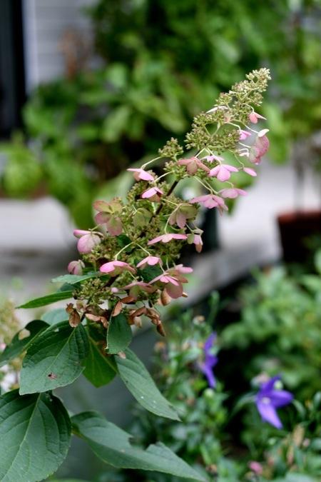 pinky_winky_hydrangea_bloom