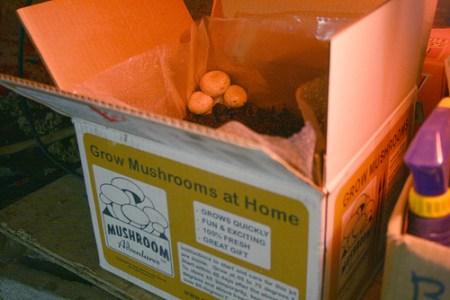 mushroom_growing_kit