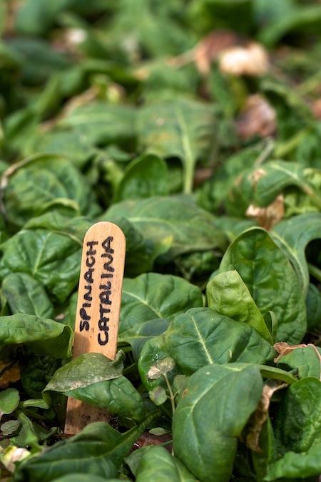 catalina_spinach 1