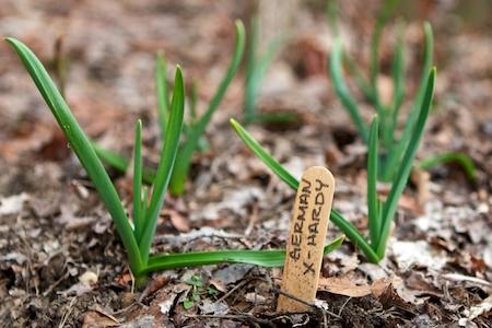 Garlic_in_spring 2