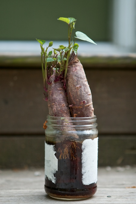 how to grow a sweet potato plant in a jar