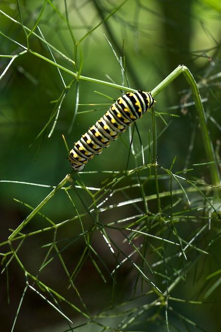 yellow_swallowtail_caterpillar 1