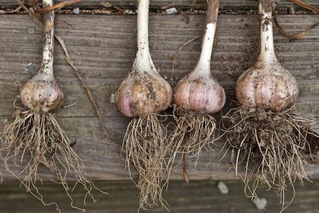 garlic_harvest 3