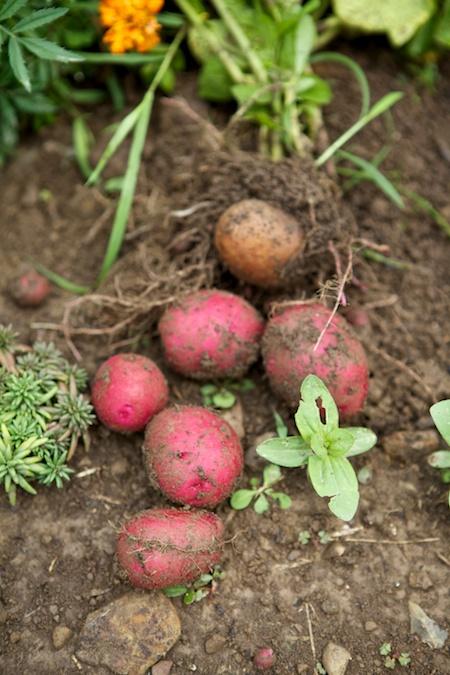 edible garden harvest 5
