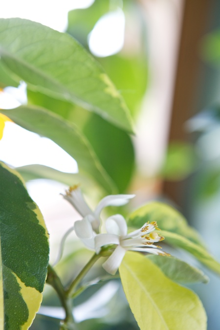 lemon trees blooming 1